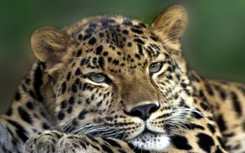 Tier - Leopard Wallpapers and Backgrounds ID : 167477