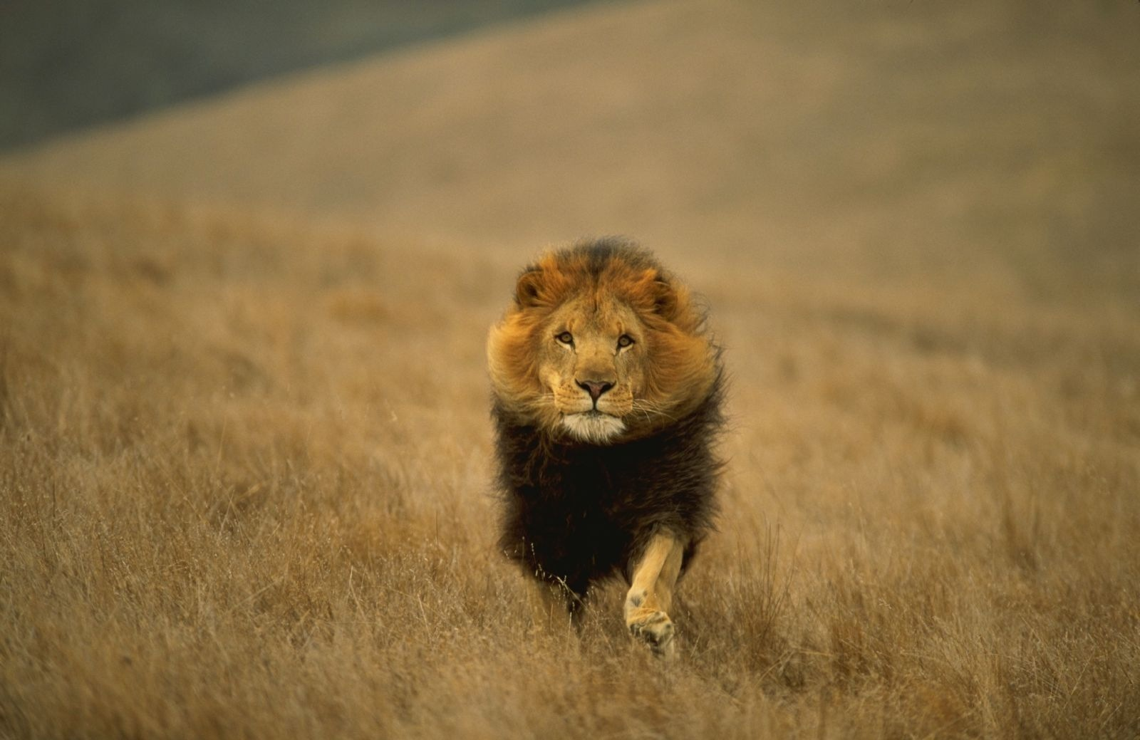 lion wallpaper and background image | 1600x1039 | id:168027