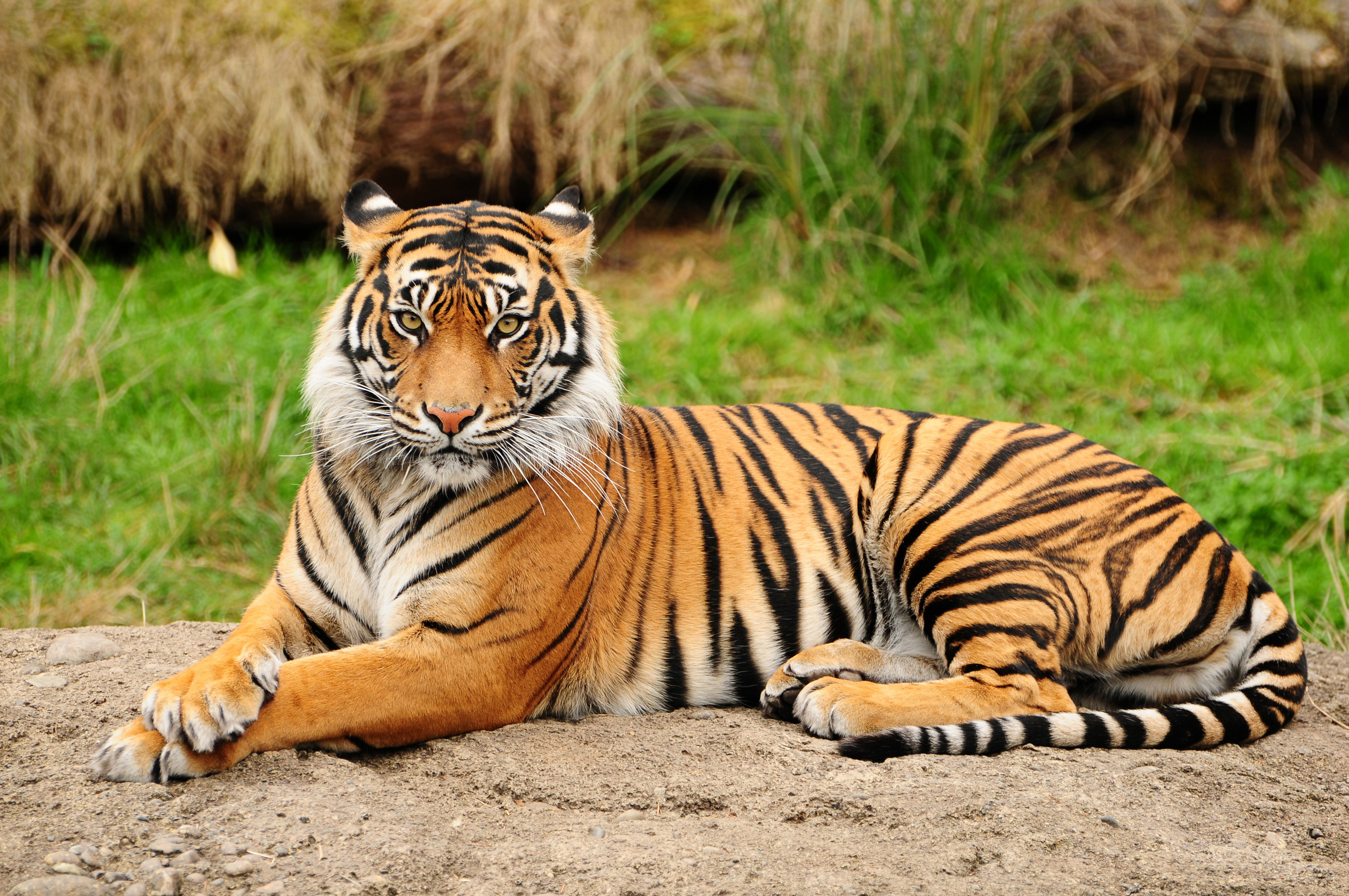 tiger hd wallpaper | background image | 3011x2000 | id:168537