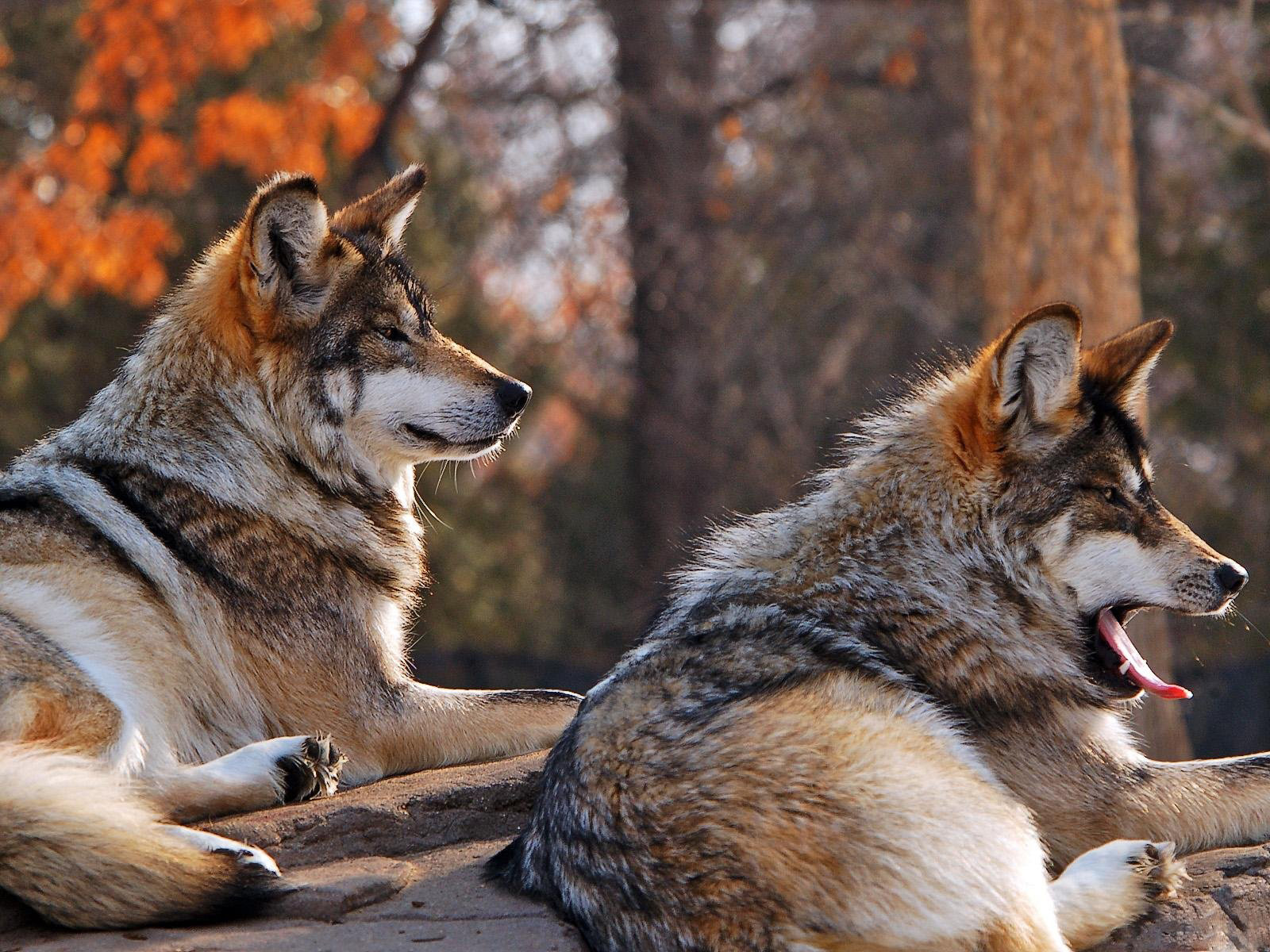wolf wallpapers ndash animal - photo #47