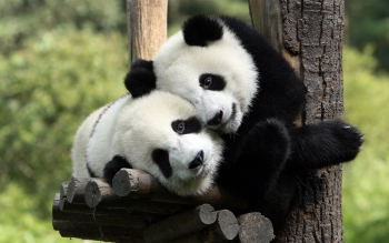 Animal - Panda Wallpapers and Backgrounds ID : 173535