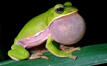 Animal - Frog Wallpapers and Backgrounds ID : 173849
