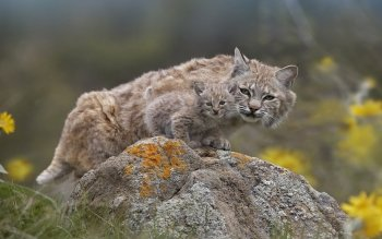 Animal - Lynx Wallpapers and Backgrounds ID : 177365
