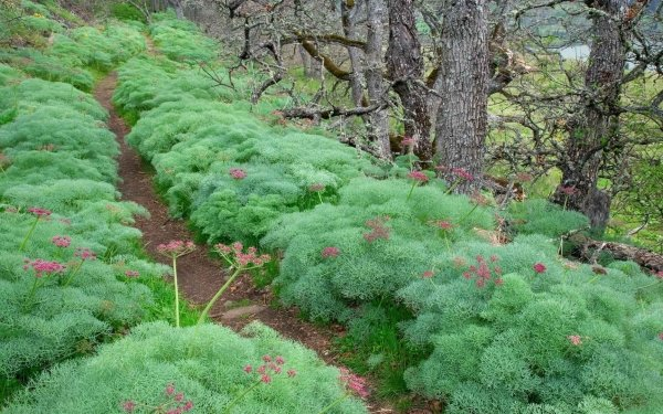 Earth Forest Lomatium Flower Columbia River Gorge Oregon River HD Wallpaper   Background Image