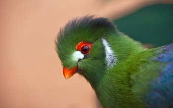 Preview White-cheeked Turaco