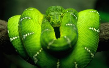 Animal - Snake Wallpapers and Backgrounds ID : 18427