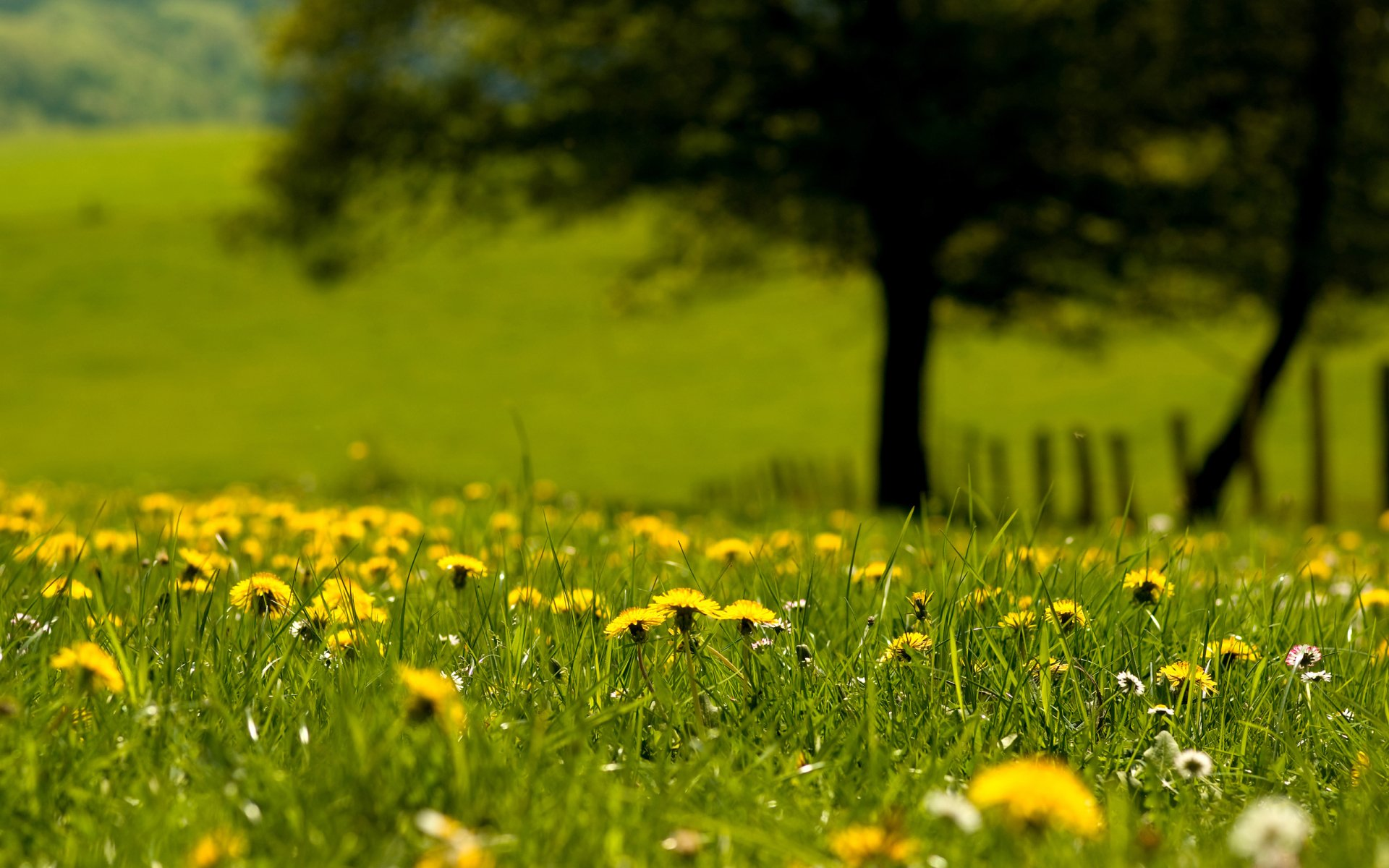 Earth - Field  Nature Tree Dandelion Grass Yellow Flower Wallpaper