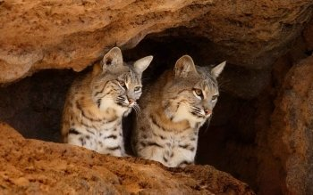 Animal - Bobcat Wallpapers and Backgrounds ID : 188557