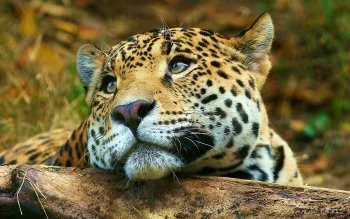 Tier - Leopard Wallpapers and Backgrounds ID : 190805