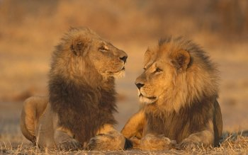 Animal - Lion Wallpapers and Backgrounds ID : 190949