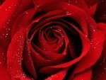 Red Rose HD Wallpapers | Background Images