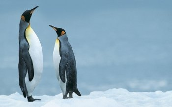 Animal - Penguin Wallpapers and Backgrounds ID : 191039