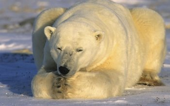 Animal - Polar Bear Wallpapers and Backgrounds ID : 191079