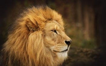 Animalia - León Wallpapers and Backgrounds ID : 193525
