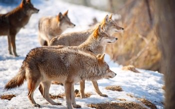Animal - Wolf Wallpapers and Backgrounds ID : 193647