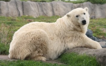 Animal - Polar Bear Wallpapers and Backgrounds ID : 196079
