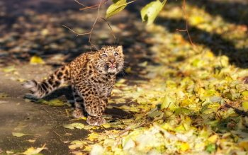 Animalia - Leopard Wallpapers and Backgrounds ID : 198129