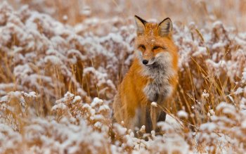 Animal - Fox Wallpapers and Backgrounds ID : 200309