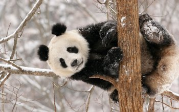 Animal - Panda Wallpapers and Backgrounds ID : 200857