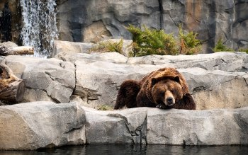 Animal - Bear Wallpapers and Backgrounds ID : 205589