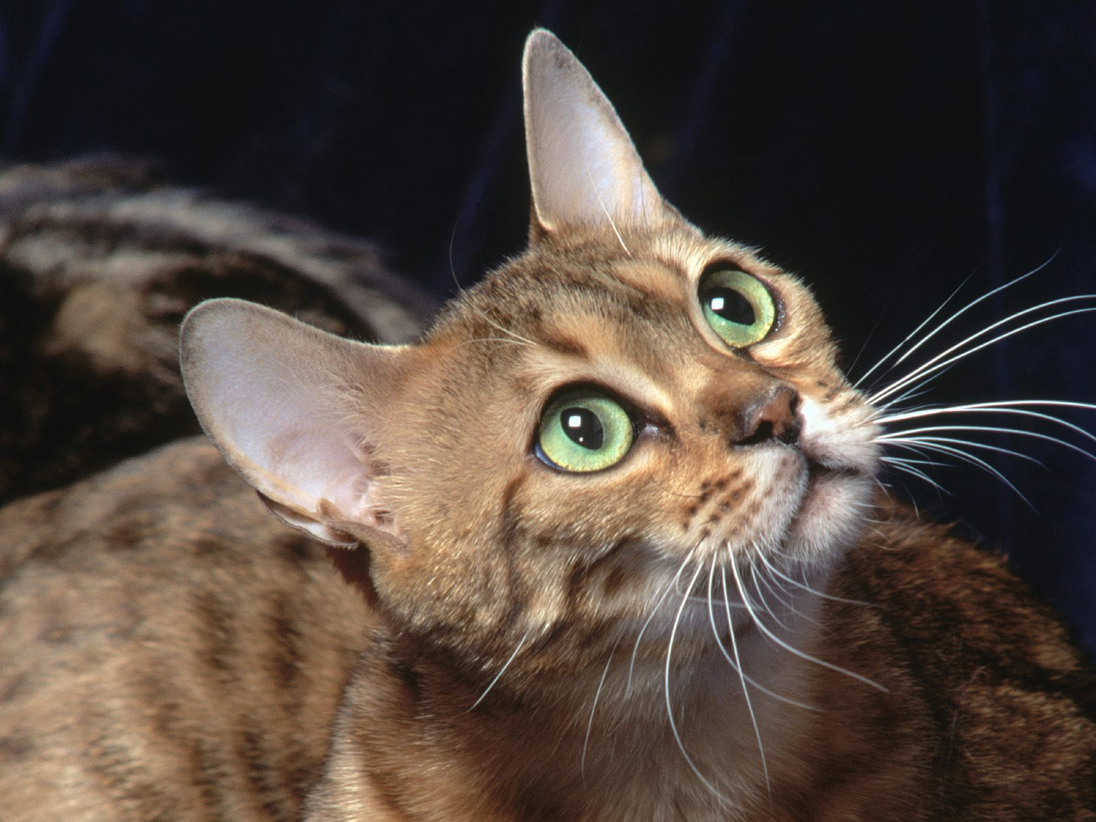 6 bengal cat hd wallpapers backgrounds wallpaper abyss - Kitten backgrounds ...