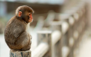 Animalia - Monkey Wallpapers and Backgrounds ID : 206799
