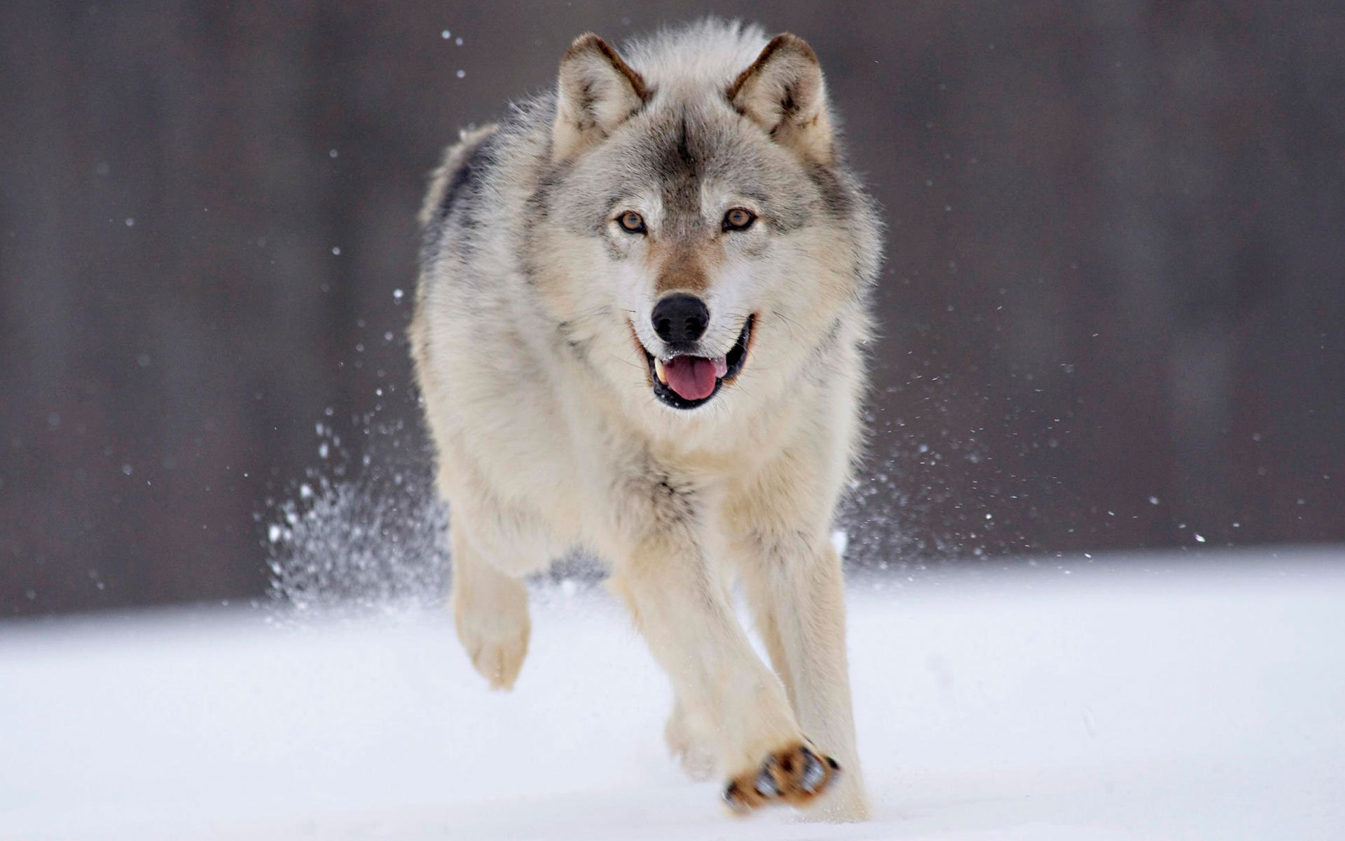 Animal - Wolf  Animal Running Snow Wallpaper