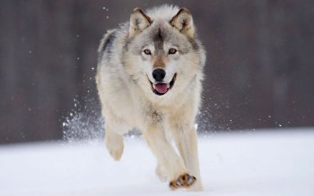Animal - Wolf Wallpapers and Backgrounds ID : 207677