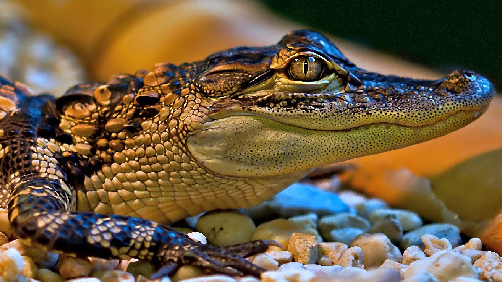 Little Crocodile Full HD Wallpaper and Background ...