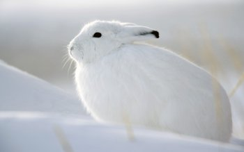 Animal - Rabbit Wallpapers and Backgrounds ID : 208335