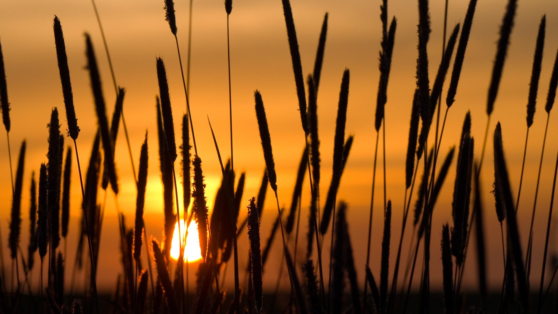 Earth - Sunset  Wheat Wallpaper
