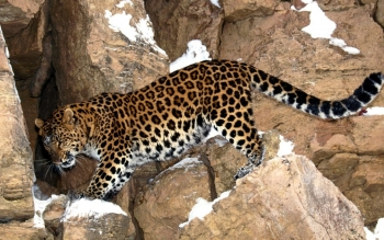 Animal - Jaguar Wallpapers and Backgrounds ID : 209945