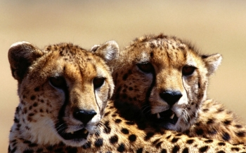 Animal - Cheetah Wallpapers and Backgrounds ID : 209947
