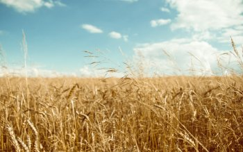 Earth - Wheat Wallpapers and Backgrounds ID : 212189