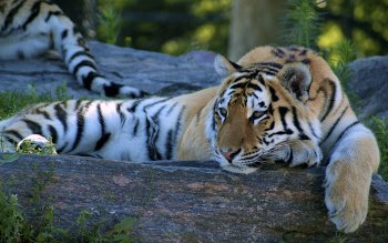 Animal - Tiger Wallpapers and Backgrounds ID : 212859