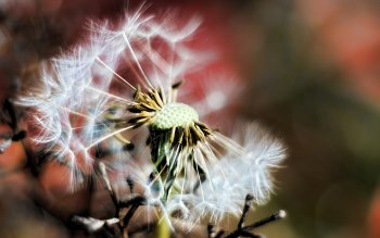 Earth - Dandelion Wallpapers and Backgrounds ID : 213079