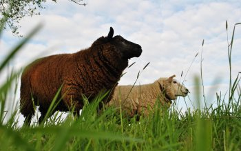 Animal - Sheep Wallpapers and Backgrounds ID : 216899