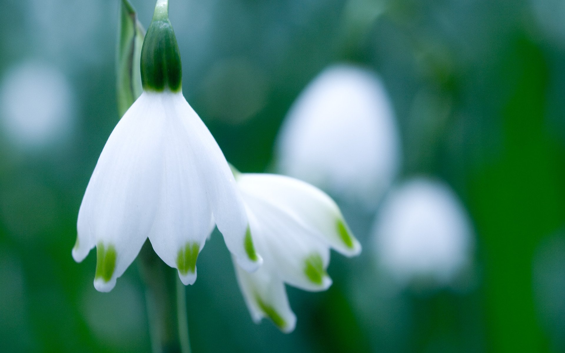 Earth - Snowdrop  Flower Wallpaper
