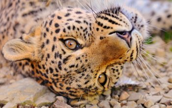 Animalia - Leopard Wallpapers and Backgrounds ID : 219355