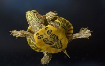 Animal - Turtle Wallpapers and Backgrounds ID : 219915