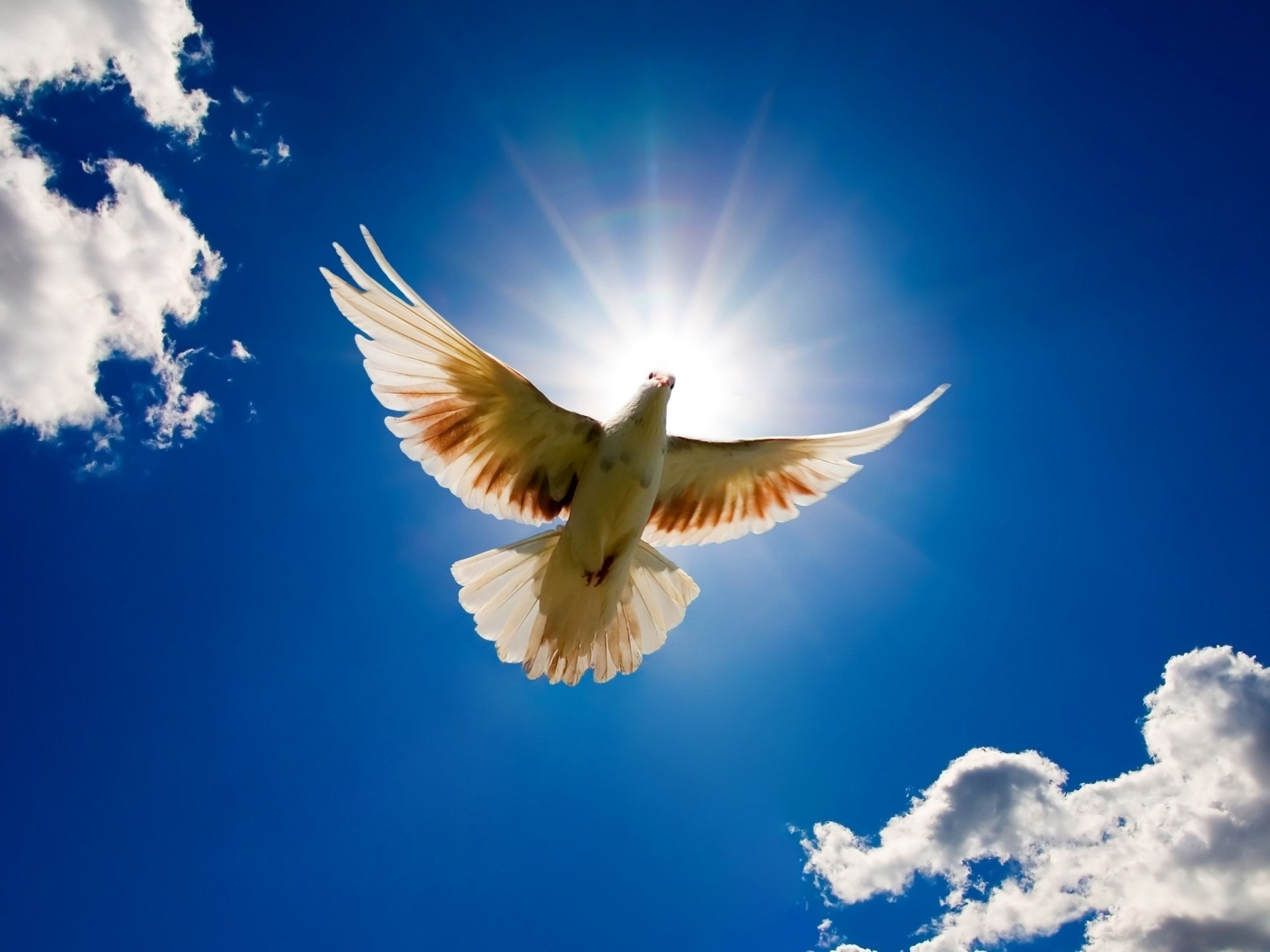 Peace Dove Soaring Through The Air HD Wallpaper   Hintergrund ...