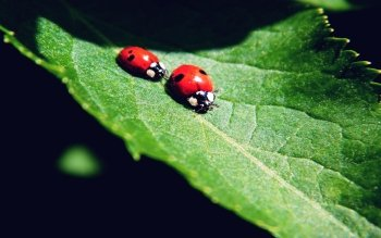 Animal - Ladybug Wallpapers and Backgrounds ID : 220245