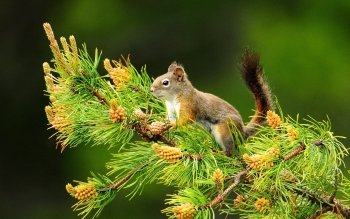 Animal - Squirrel Wallpapers and Backgrounds ID : 224529