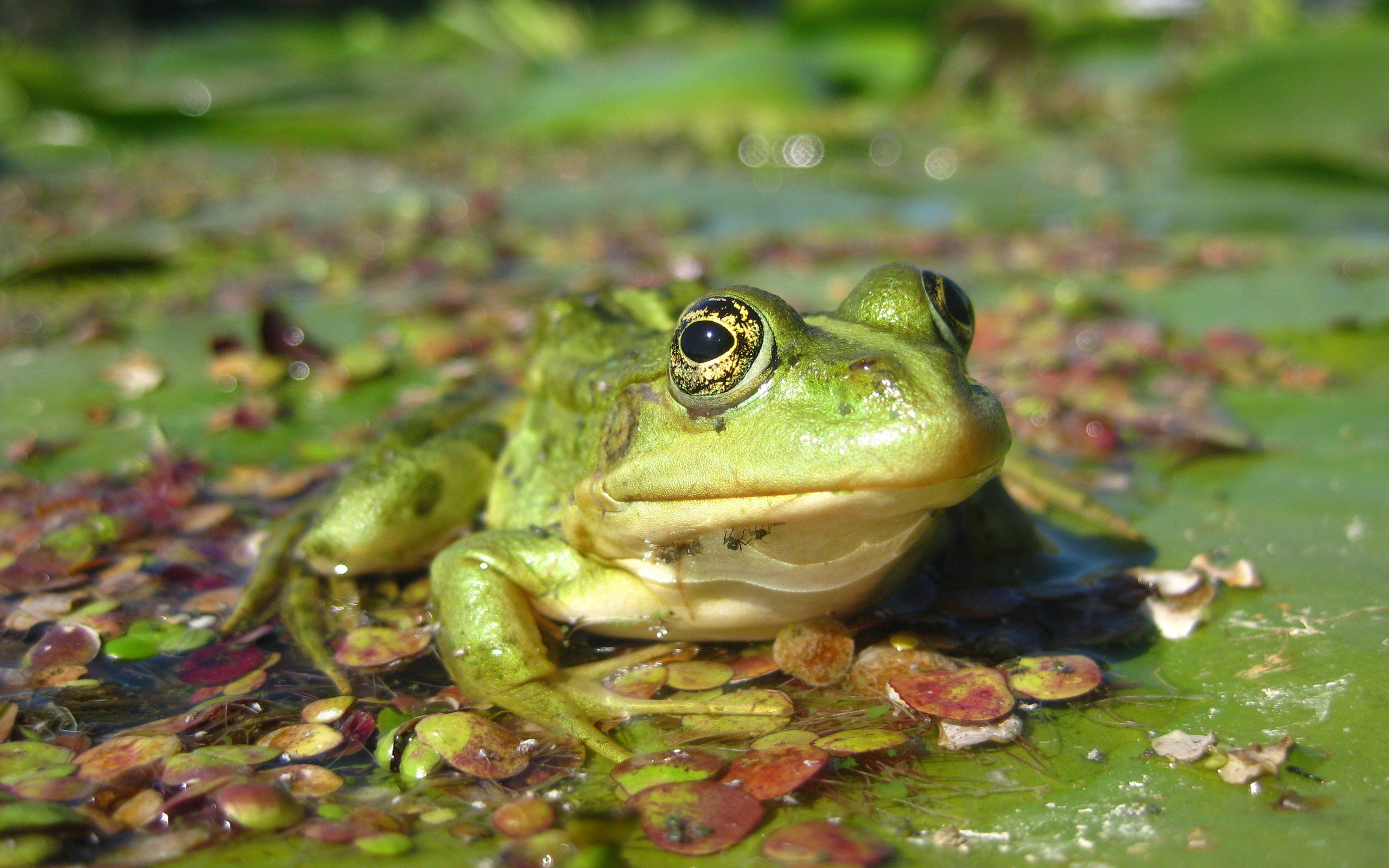 Animal - Frog  Wallpaper