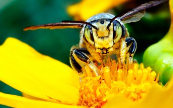 Animal - Bee Wallpapers and Backgrounds ID : 228437