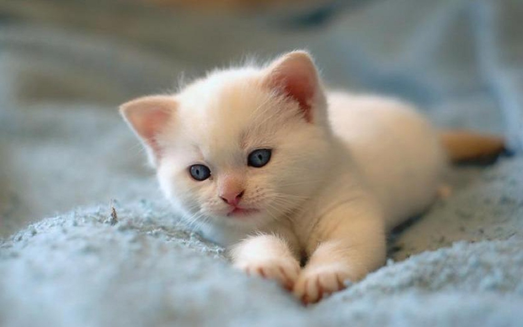 785 Kitten HD Wallpapers
