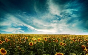 Earth - Sunflower Wallpapers and Backgrounds ID : 230289