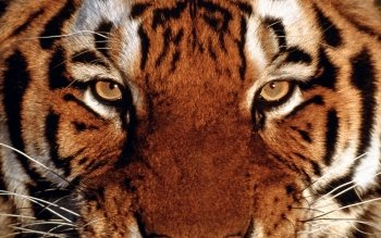 Animal - Tiger Wallpapers and Backgrounds ID : 231307