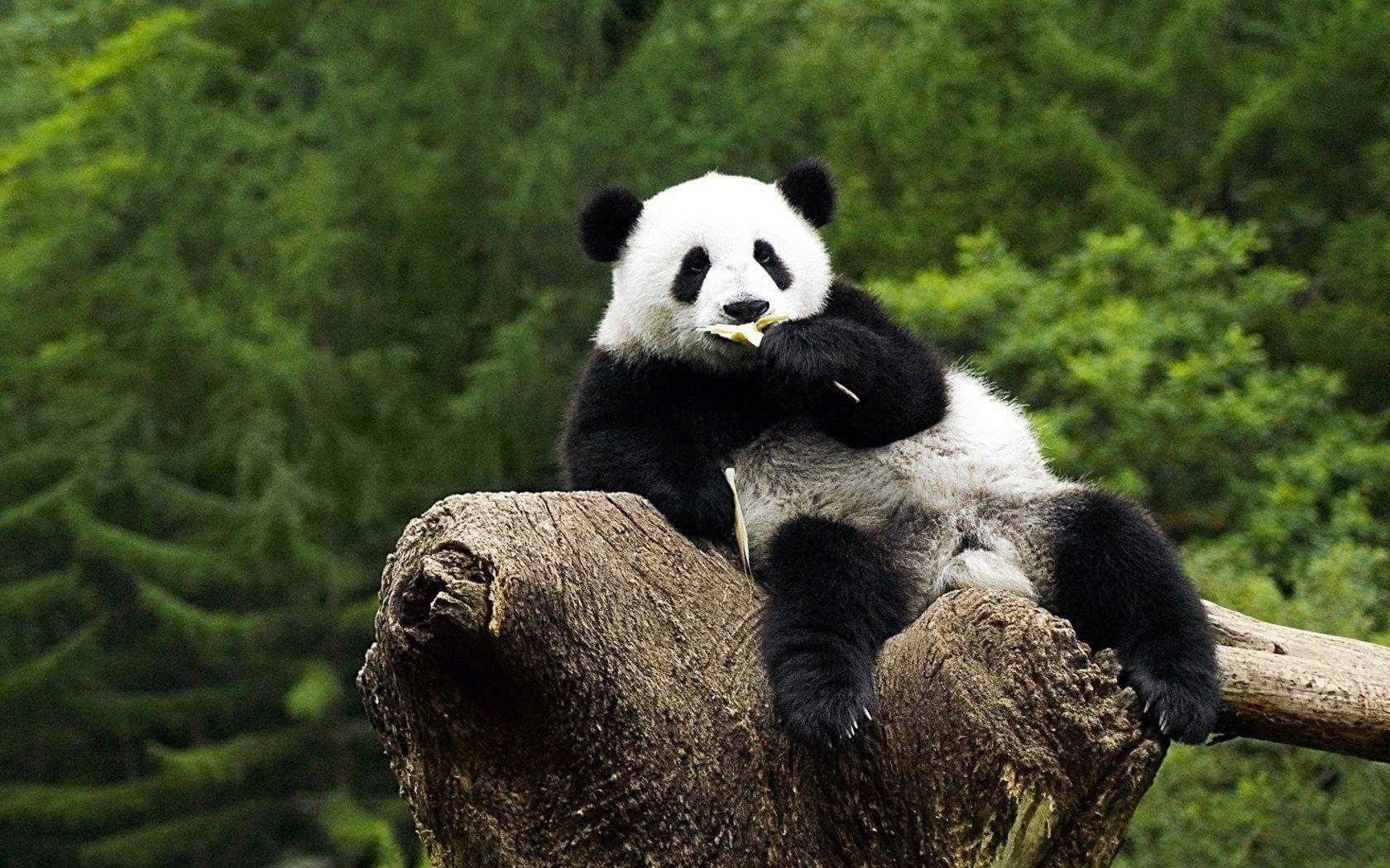 Panda Fond d'écran and Arrière-Plan | 1680x1050 | ID:234237 - Wallpaper Abyss