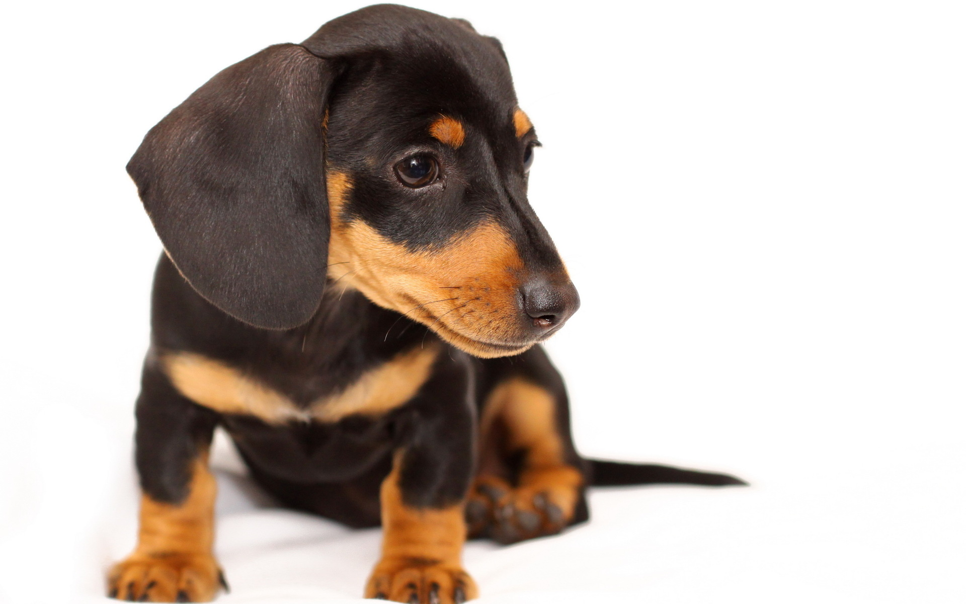 Dachshund Full HD Wallpaper And Background Image